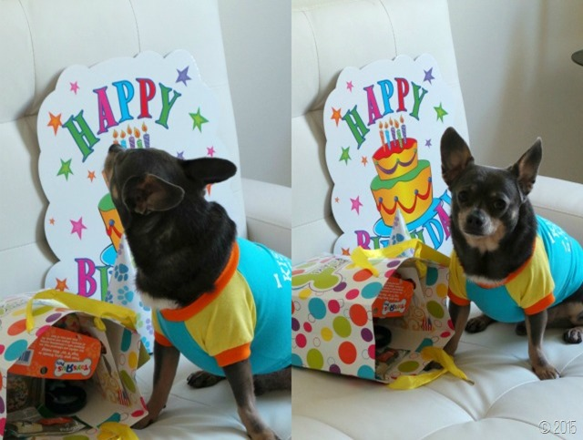 Chuy Chihuahua 6th Birthday After Gifts