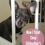 How I Treat Chuy Chihuahua's IVDD