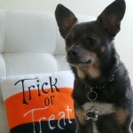 Chuy-Chihuahua-Trick-or-Treat-October_thumb.jpg