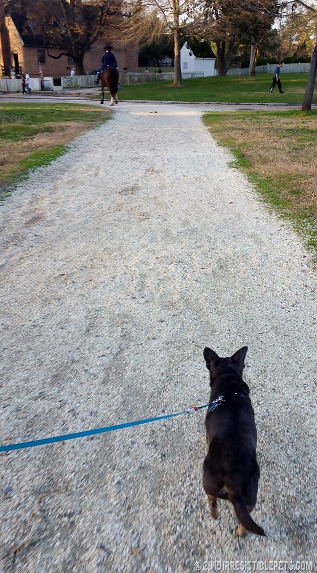 Chuy Chihuahua Colonial Williamsburg (28)
