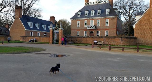 Chuy Chihuahua Colonial Williamsburg (33)
