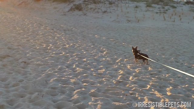Chuy Chihuahua Sandbridge GoPro