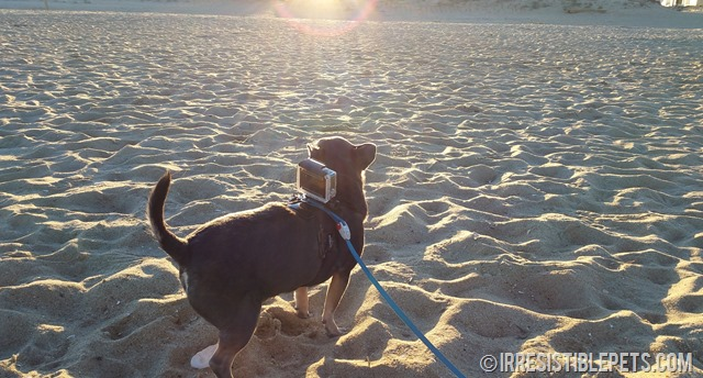 DIY GoPro Harness for Chihuahuas (10)