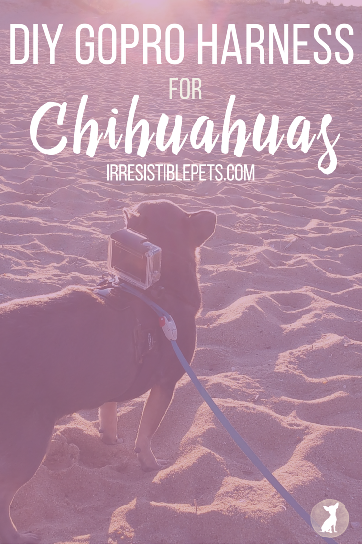 DIY GoPro Harness for Chihuahuas by IrresistiblePets.com