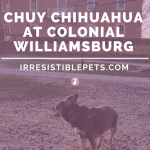 Chuy Chihuahua Visits Colonial Williamsburg