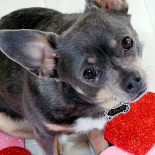 Happy-Valentines-Day-from-Chuy-Chihuahua-14.jpg
