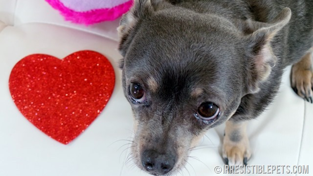 Happy Valentine's Day from Chuy Chihuahua (6)