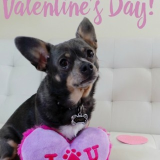 Happy-Valentines-Day-from-Chuy-Chihuahua-at-IrresistiblePets.com_.jpg