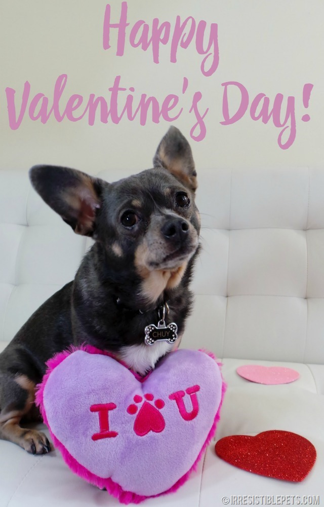 Happy Valentine's Day from Chuy Chihuahua at IrresistiblePets.com