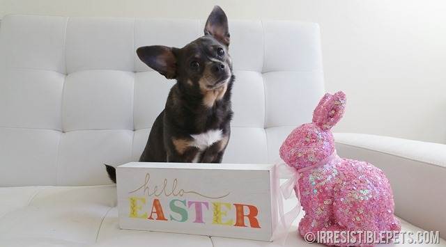 Chuy Chihuahua Celebrates Easter (14)