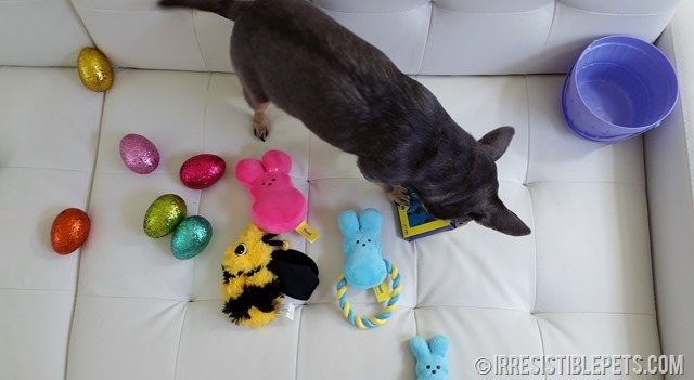 Chuy Chihuahua Celebrates Easter (5)