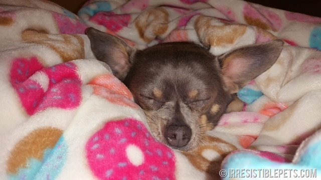 Chuy Chihuahua Donut Blanket