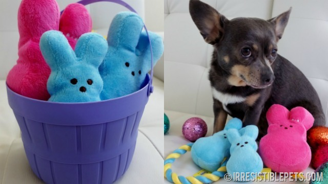 Chuy Chihuahua Easter Basket