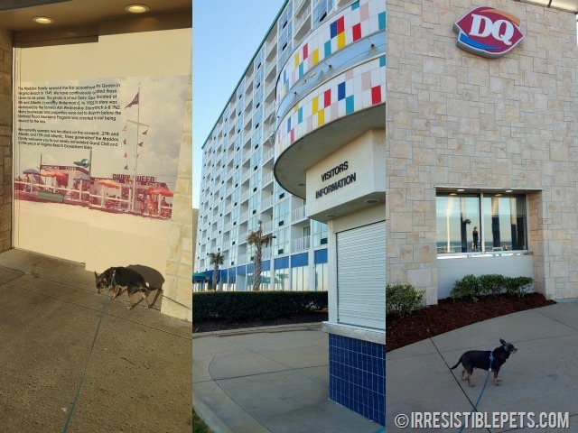 Chuy Chihuahua Virginia Beach Dairy Queen
