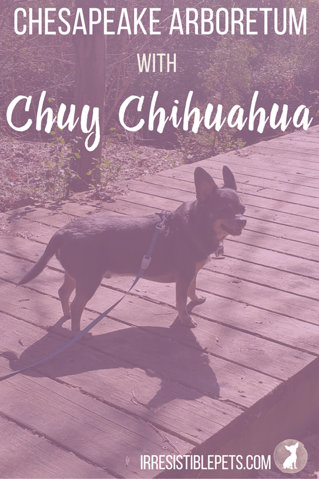 Chuy Chihuahua at the Chesapeake Arboretum & Great Dismal Swamp Trail