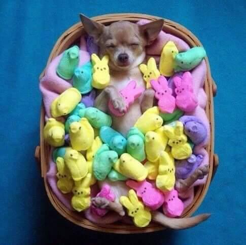 Peeps Chihuahua