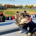 Dog Friendly Baseball Game with Chuy Chihuahua