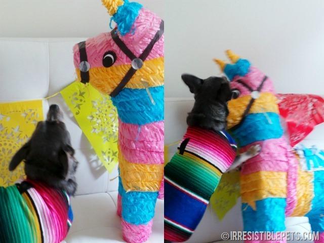 Chihuahua Pinata