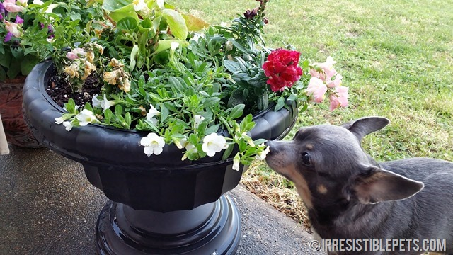 Chuy Chihauhua Dog Friendly Container Garden