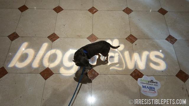 Chuy Chihuahua BlogPaws