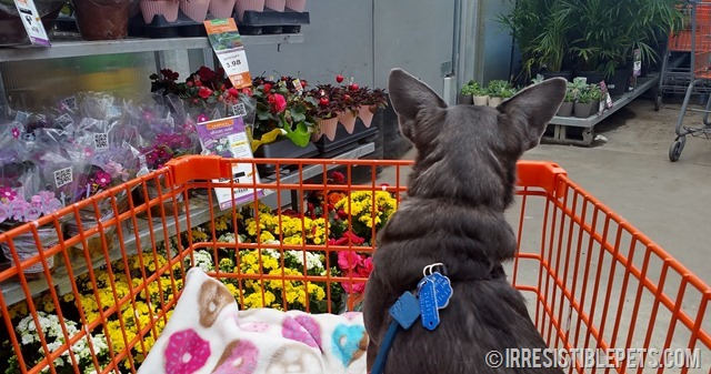 Chuy Chihuahua Shopping at Home Depot