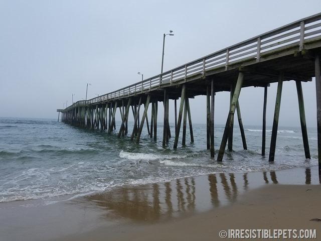 Chuy Chihuahua Virginia Beach Fishing Pier (10)