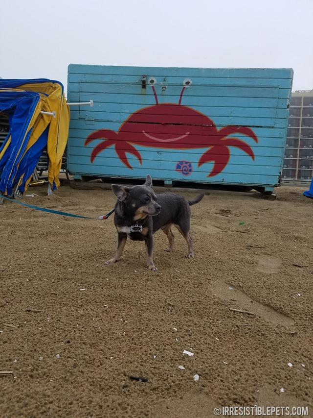 Chuy Chihuahua Virginia Beach Fishing Pier (11)