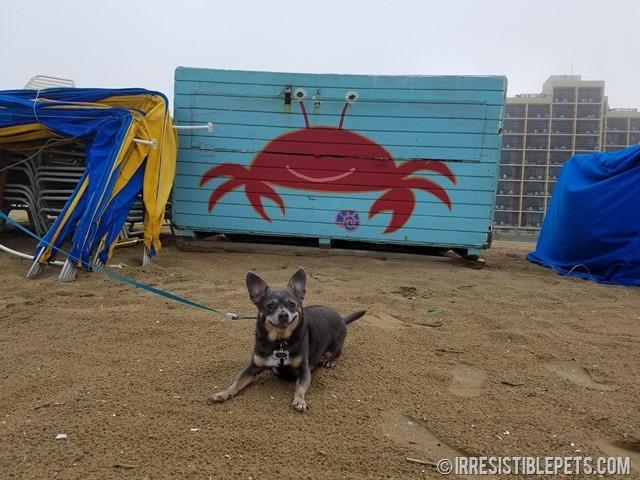 Chuy Chihuahua Virginia Beach Fishing Pier (12)