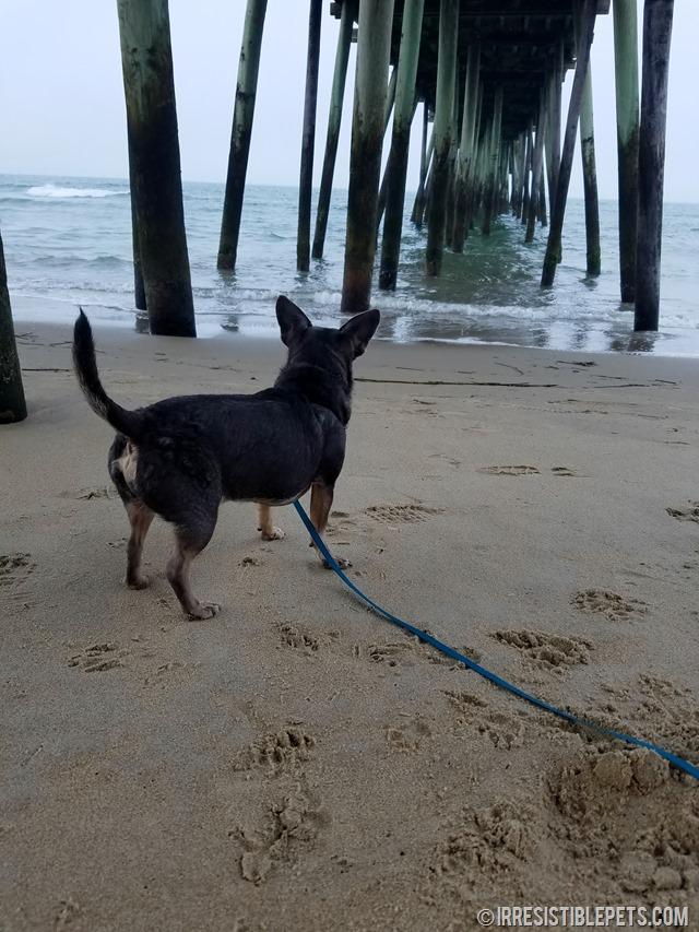 Chuy Chihuahua Virginia Beach Fishing Pier (2)