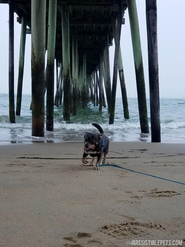 Chuy Chihuahua Virginia Beach Fishing Pier (3)