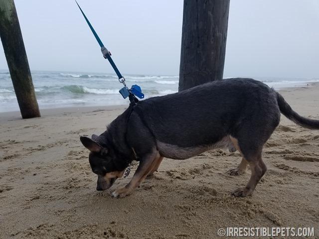 Chuy-Chihuahua-Virginia-Beach-Fishing-Pier-6_thumb.jpg