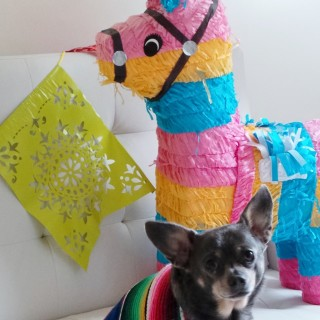 Cinco-de-Mayo-with-Chuy-Chihuahua-23_thumb.jpg