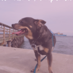 A Walk with Chuy Chihuahua at Fort Monroe in Hampton, VA
