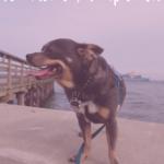 A Walk with Chuy Chihuahua at Fort Monroe in Hampton, VA