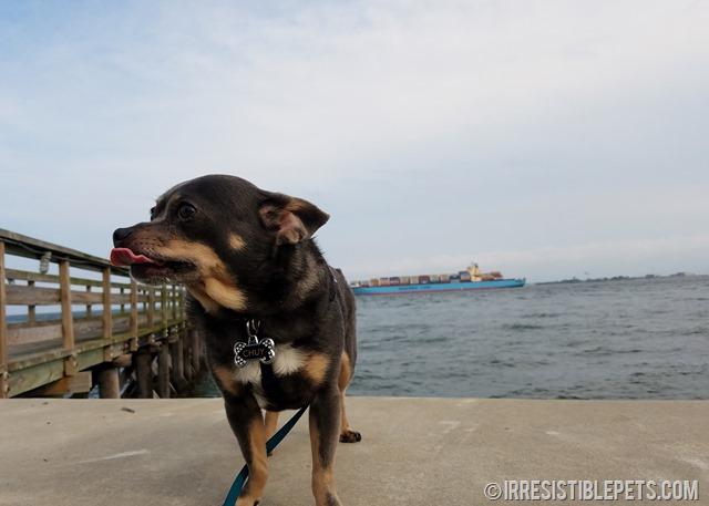 Chuy Chihuahua Walk at Ft Monroe Hampton VA (16)