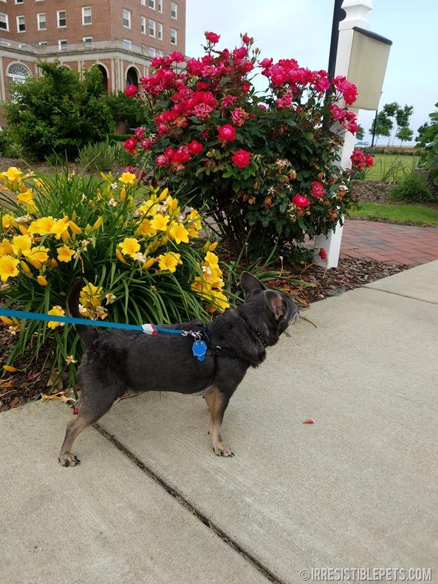 Chuy Chihuahua Walk at Ft Monroe Hampton VA (1)