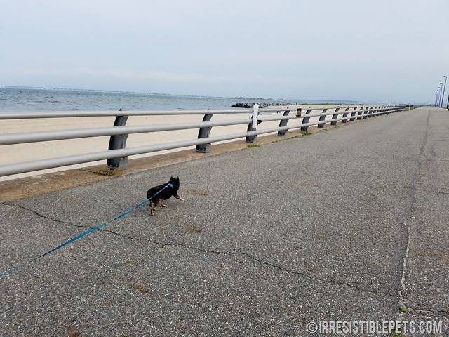 Chuy Chihuahua Walk at Ft Monroe Hampton VA (31)
