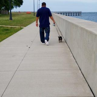 Chuy Chihuahua Walk at Ft Monroe Hampton VA (6)