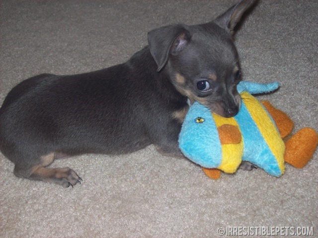 Chuy Chihuahua Playing with Nemo