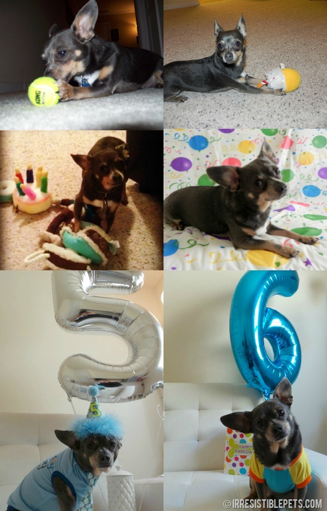 Chuy Chihuahua Birthday Collage
