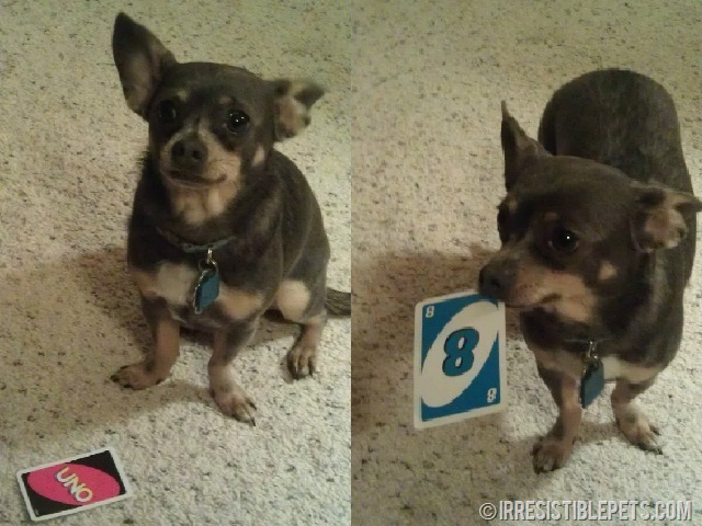 Chuy Chihuahua Playing Uno