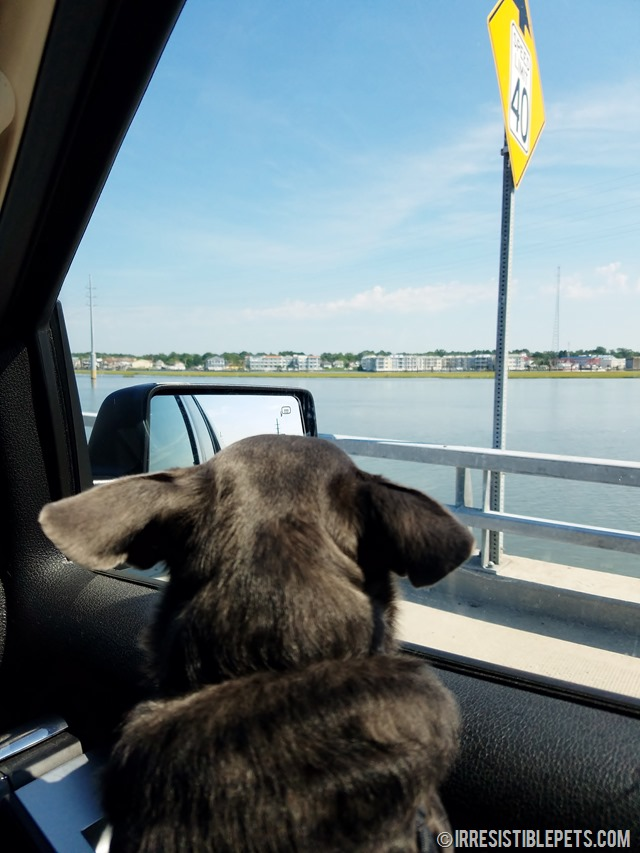Chuy Chihuahua's Eastern Shore Adventure (17)