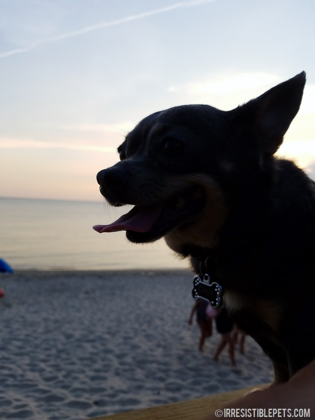 Chuy Chihuahua's Eastern Shore Adventure (64)