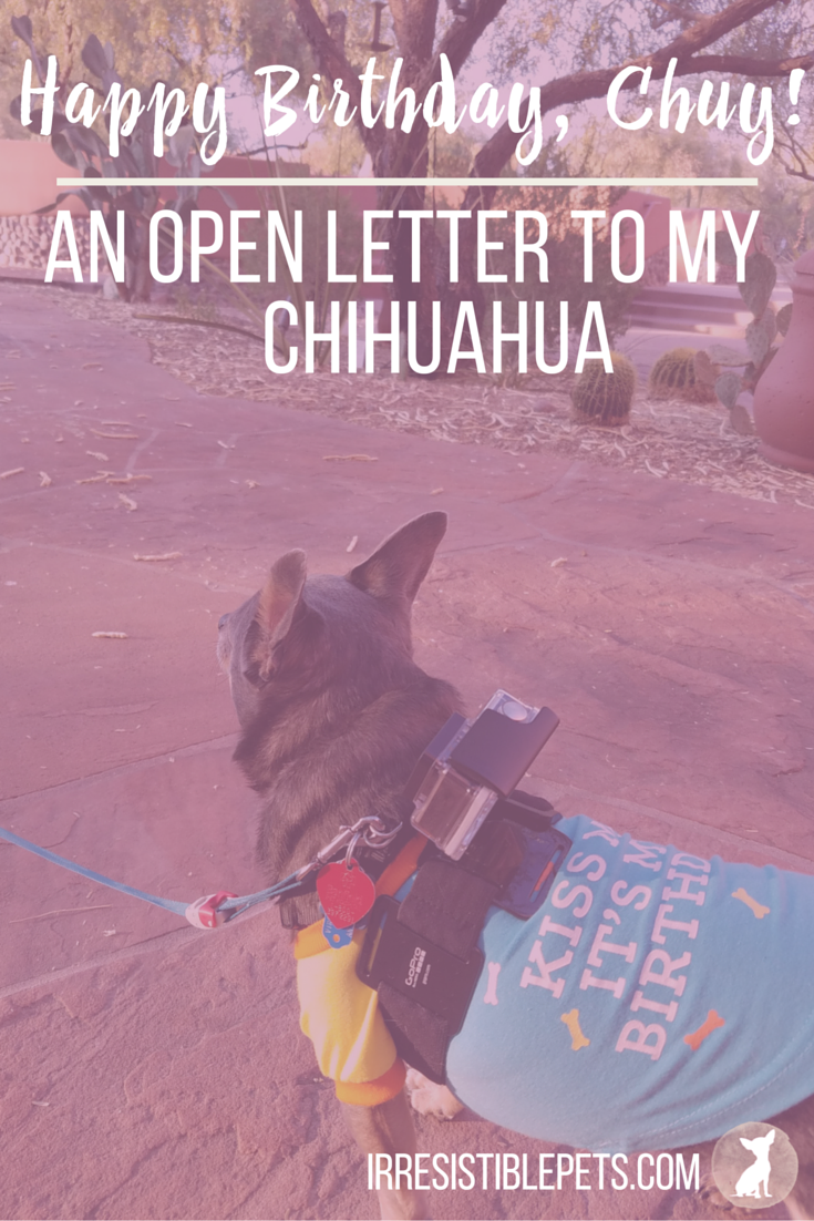 Happy 7th Birthday, Chuy {An Open Letter to My Chihuahua} by IrresistiblePets.com