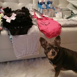 Chuy-Chihuahua-Prepping-for-Baby-B.jpg