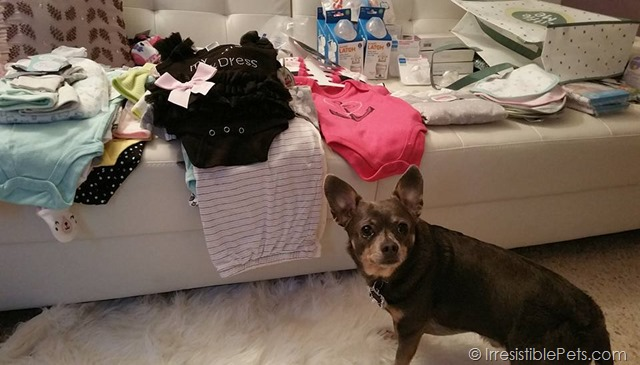 Chuy Chihuahua Prepping for Baby B