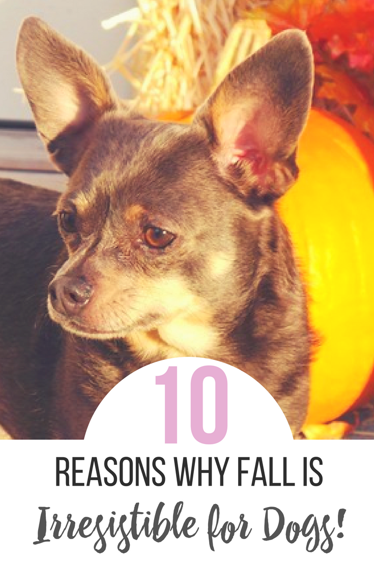 10 Reasons Why Fall is Irresistible for Dogs by IrresistiblePets.com