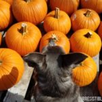 Chuy Chihuahua Visits the Pumpkin Patch at Home Depot