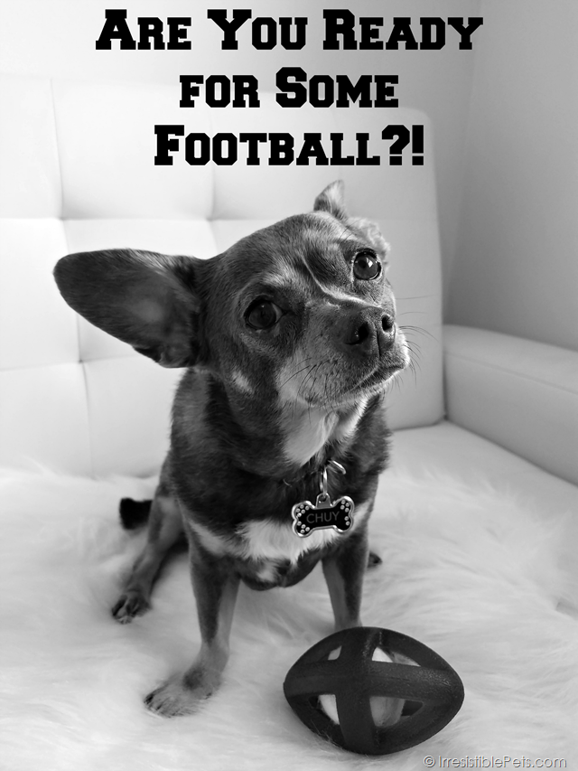 Chuy Chihuahua Are You Ready For Some Football