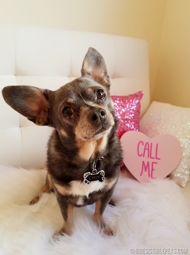 Share the Love with Chuy Chihuahua (3)